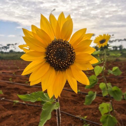 Imagine de stoc gratuită din floarea-soarelui, galben, luminos