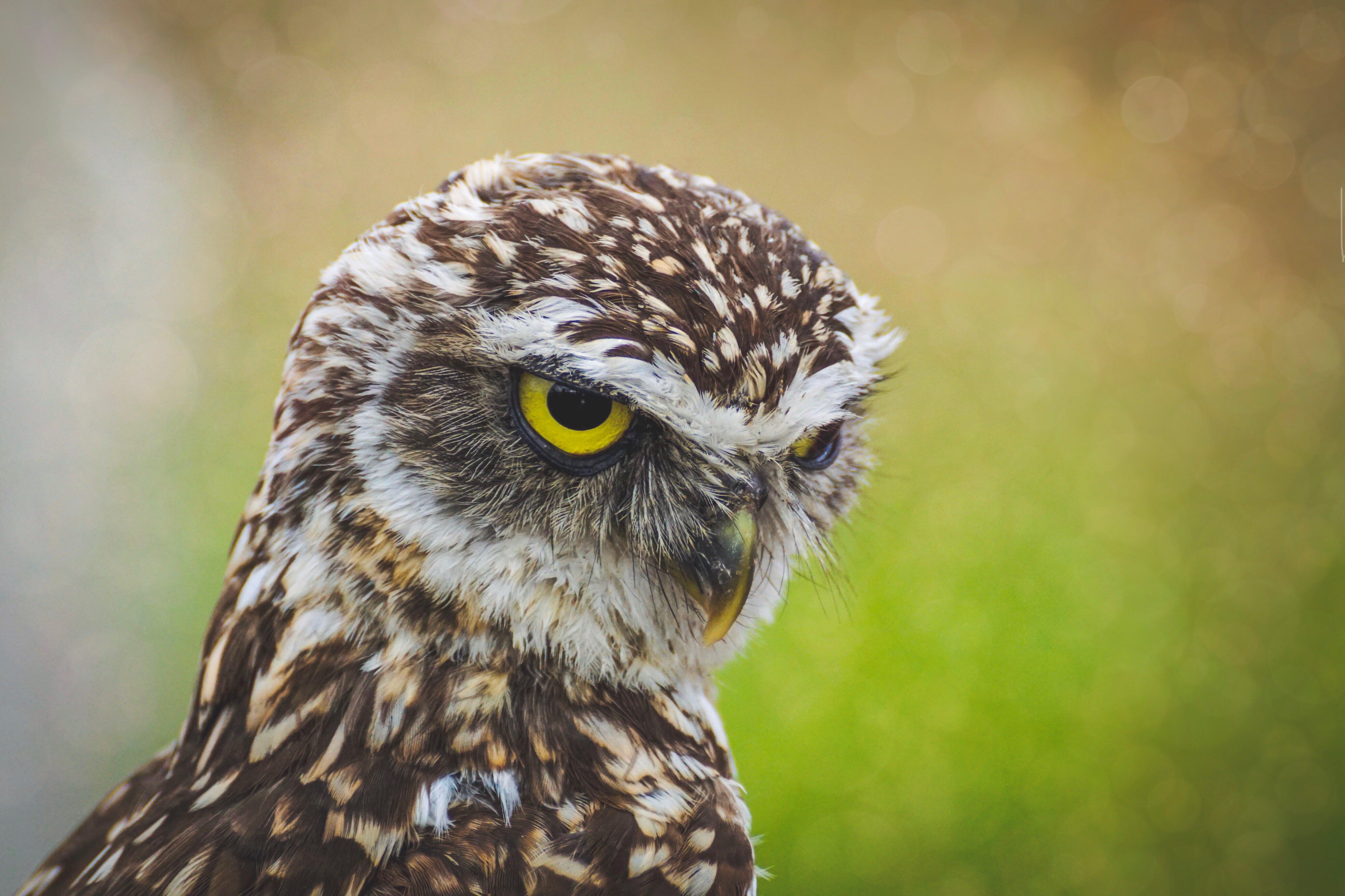 àguila calba, ales, animal