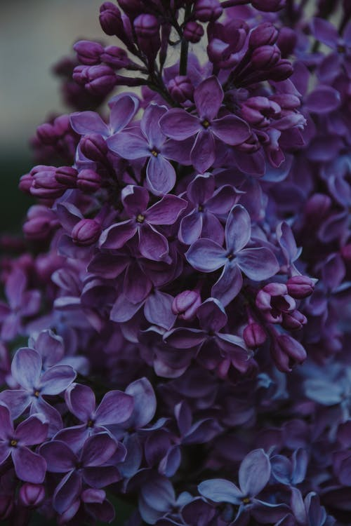 Close-up Photo of Purple Lilac Flowers