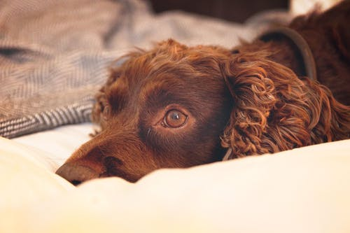 #spaniel, #床, #狗 的 免費圖庫相片