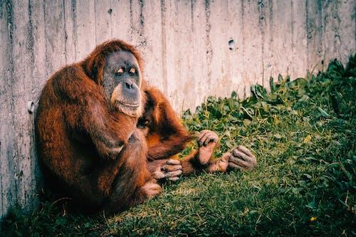Gratis lagerfoto af abe, orangutang, zoo
