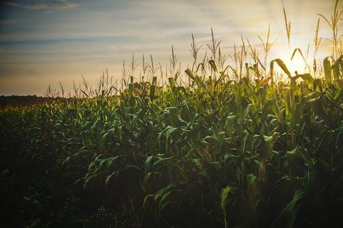 Immagine gratuita di agricoltura, alba, azienda agricola, campagna