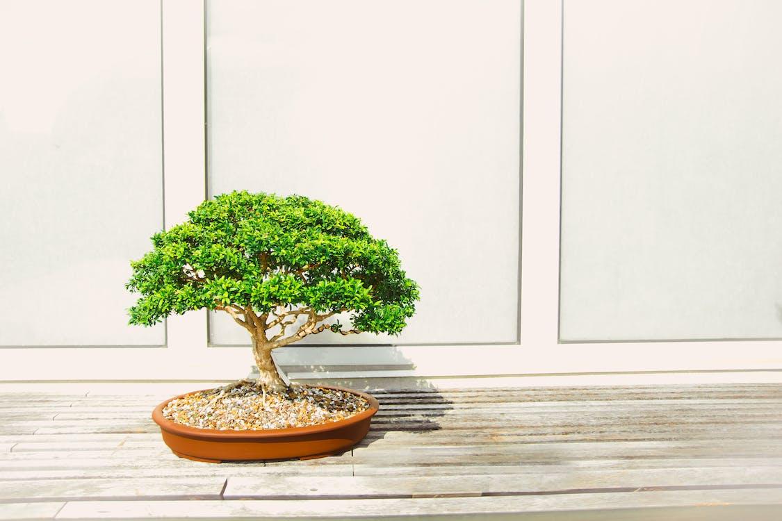 bonsaj, dekorácia, rastlina