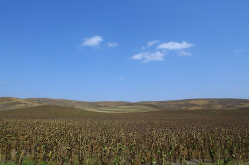 Free stock photo of armenia, artsakh, Nagorno-Karabakh, sunflower