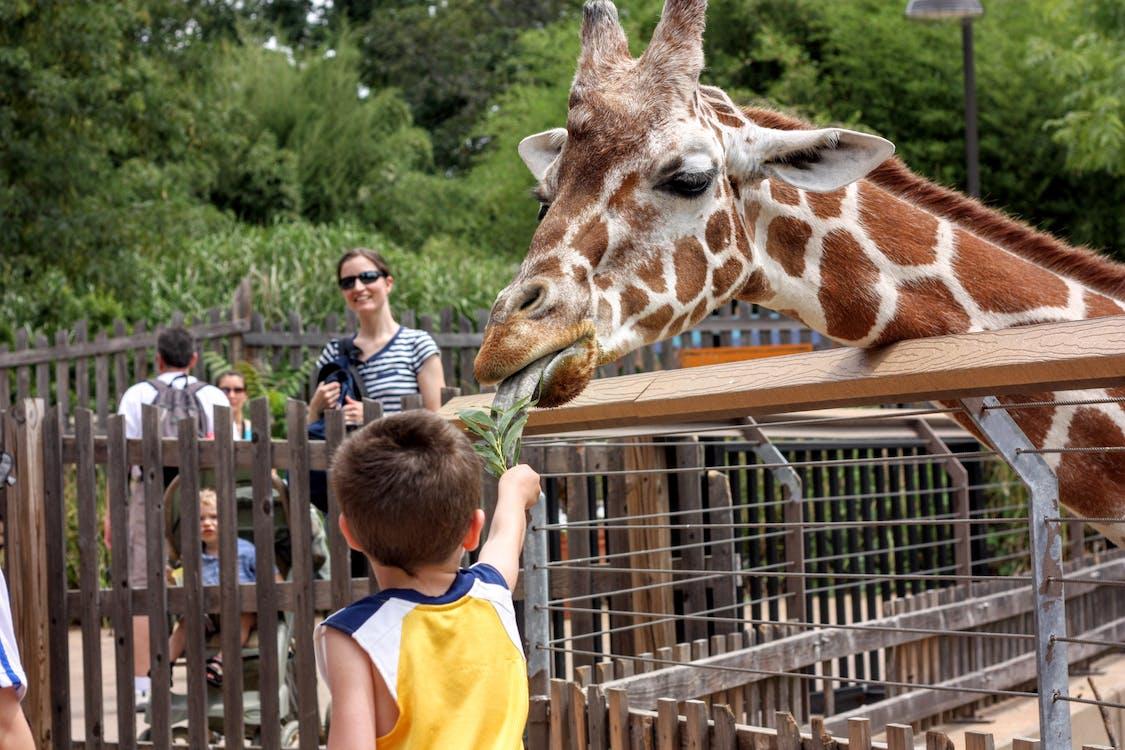 feeding, giraffe, zoo