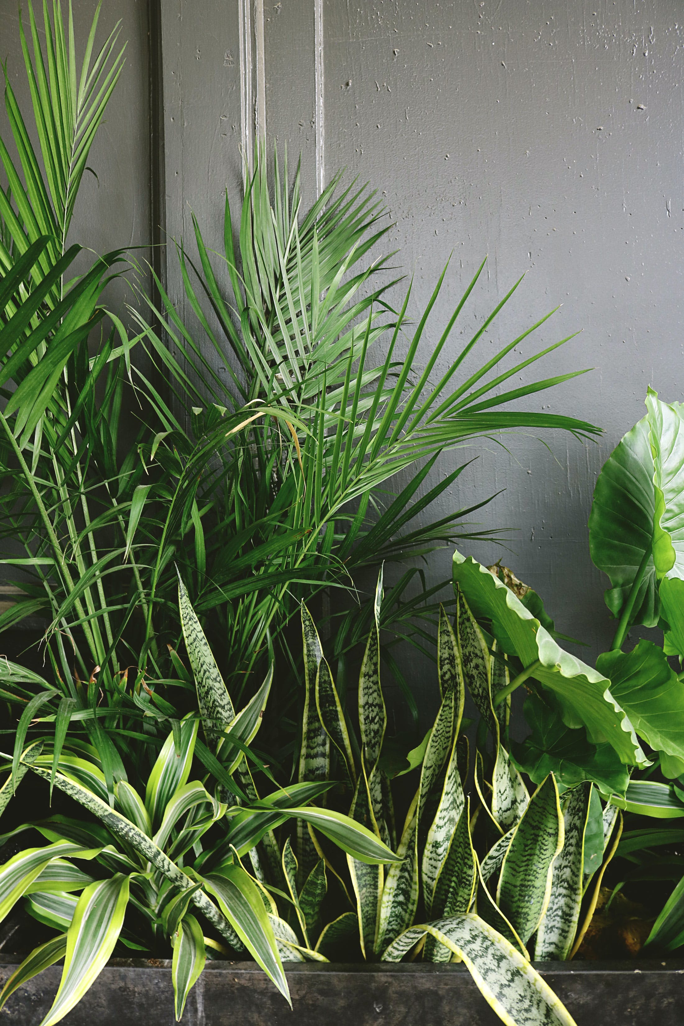 Snake Plant Beside Taro and Palm Plant Near Gray Wall