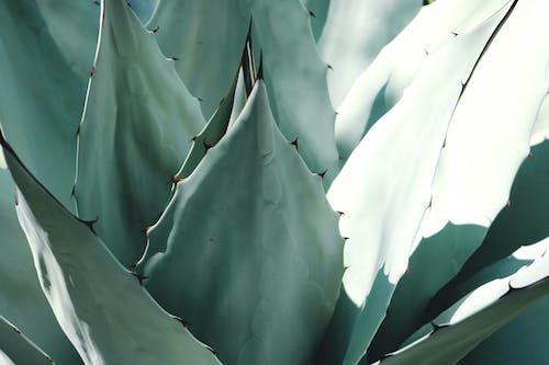 Darmowe zdjęcie z galerii z agawa, aloes, ciernie, egzotyczny