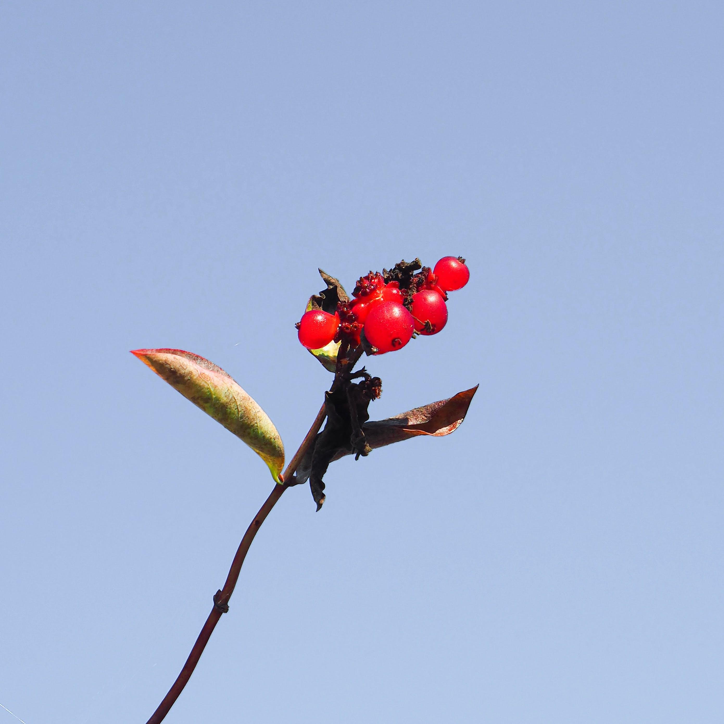 Free stock photo of berries, blue skies