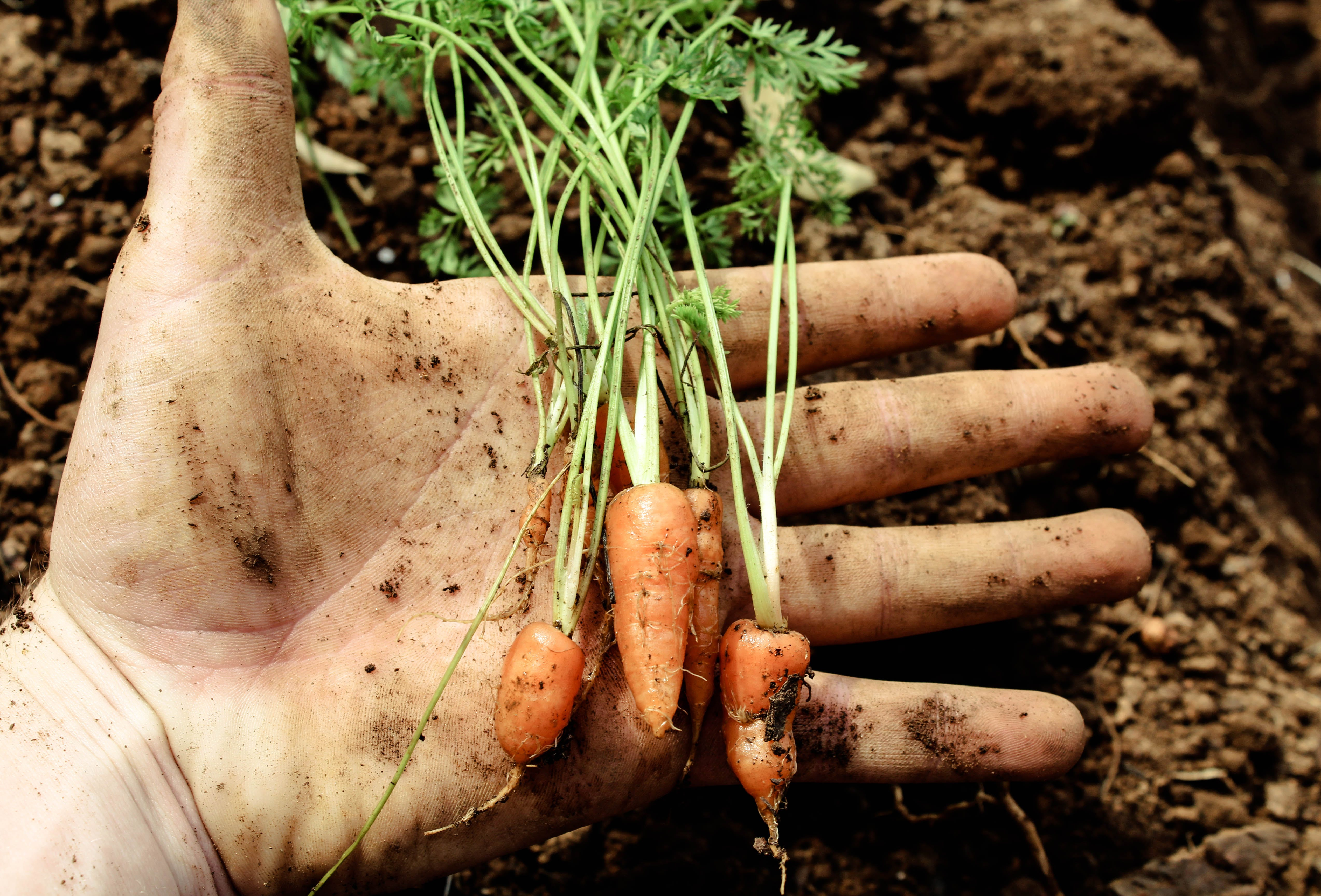 africa, Baby carrots, beautiful