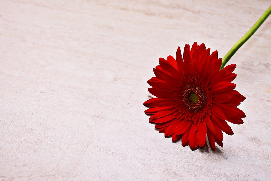 berkembang, bunga, bunga aster