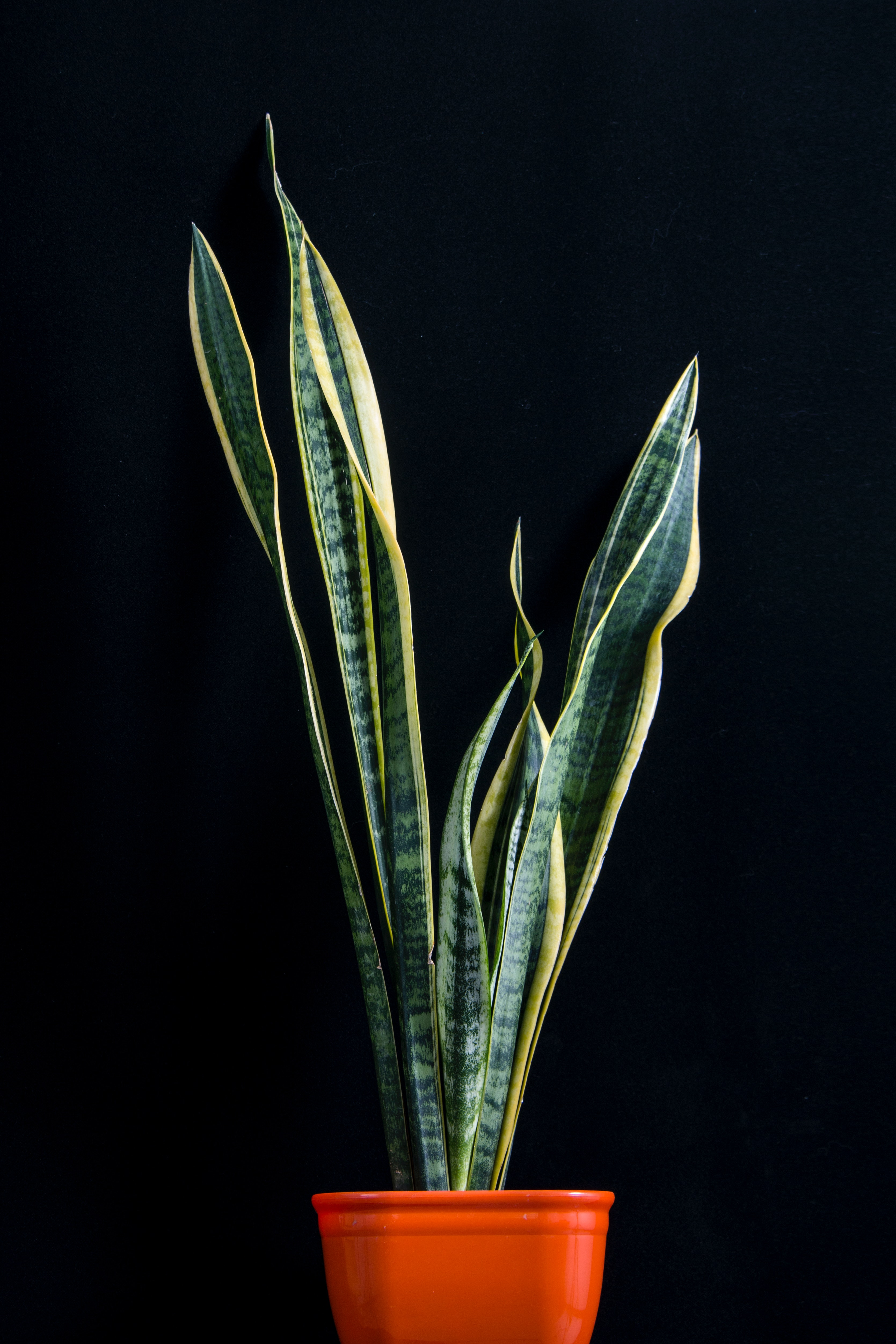 Snake Plant Air Purifier Indoor Plant