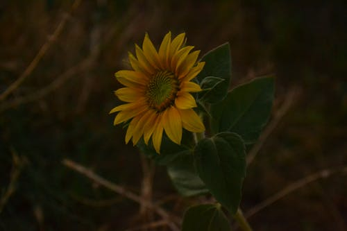 Close-up View Of Sunflower