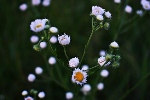 คลังภาพถ่ายฟรี ของ กลีบดอก, ดอกไม้, พฤกษา, สนาม