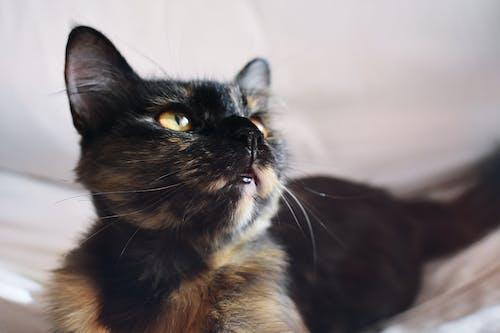 Kostenloses Stock Foto zu bezaubernd, haustier, hinreißend, kätzchen
