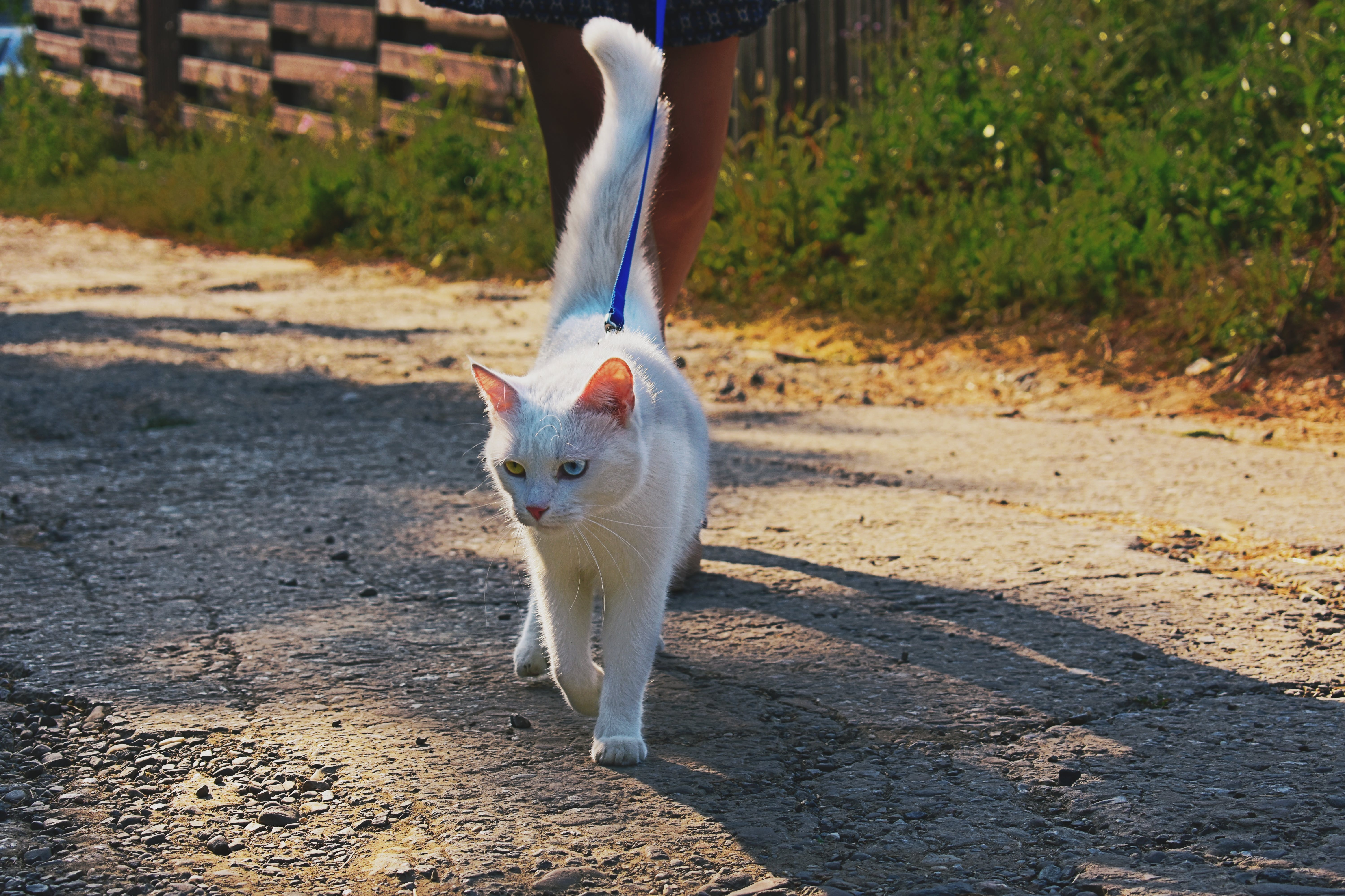 Short-fur White Cat Walking With Person on Road