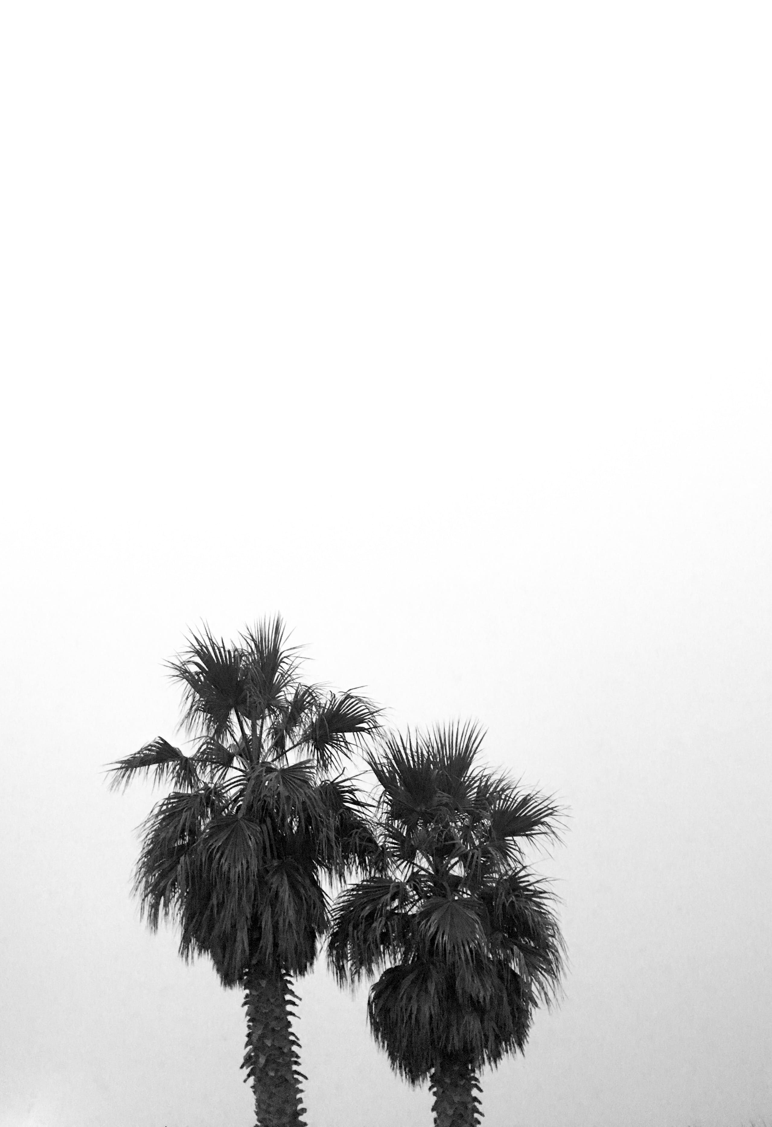 Free stock photo of palm, palm tree, palm trees, tree