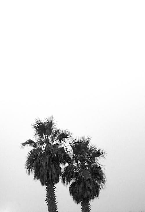 Foto d'estoc gratuïta de arbre, palmell, palmeres
