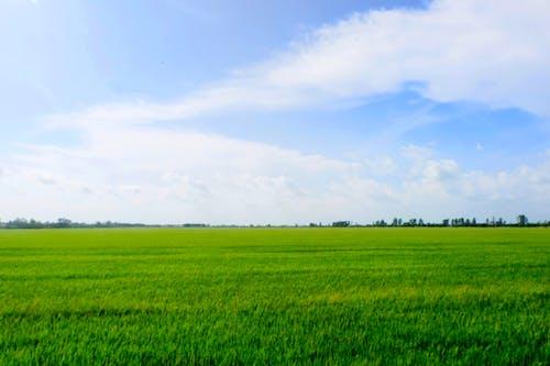 Free stock photo of field, green field, plant, skye