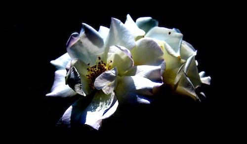 Základová fotografie zdarma na téma černá, květinářství, květinová zahrada, kytka