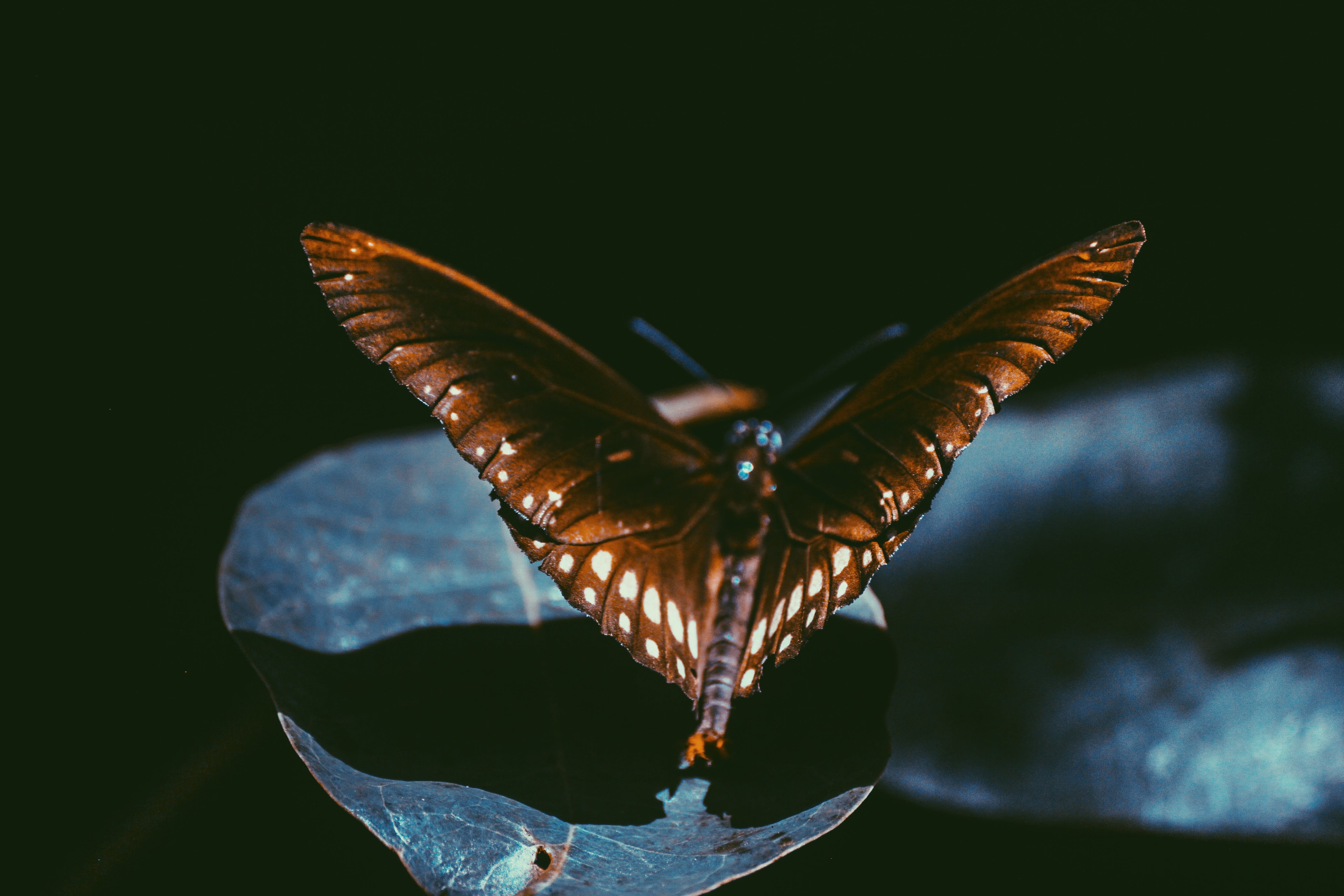 Macro Photography Of Spicebush Swallowtail Butterfly
