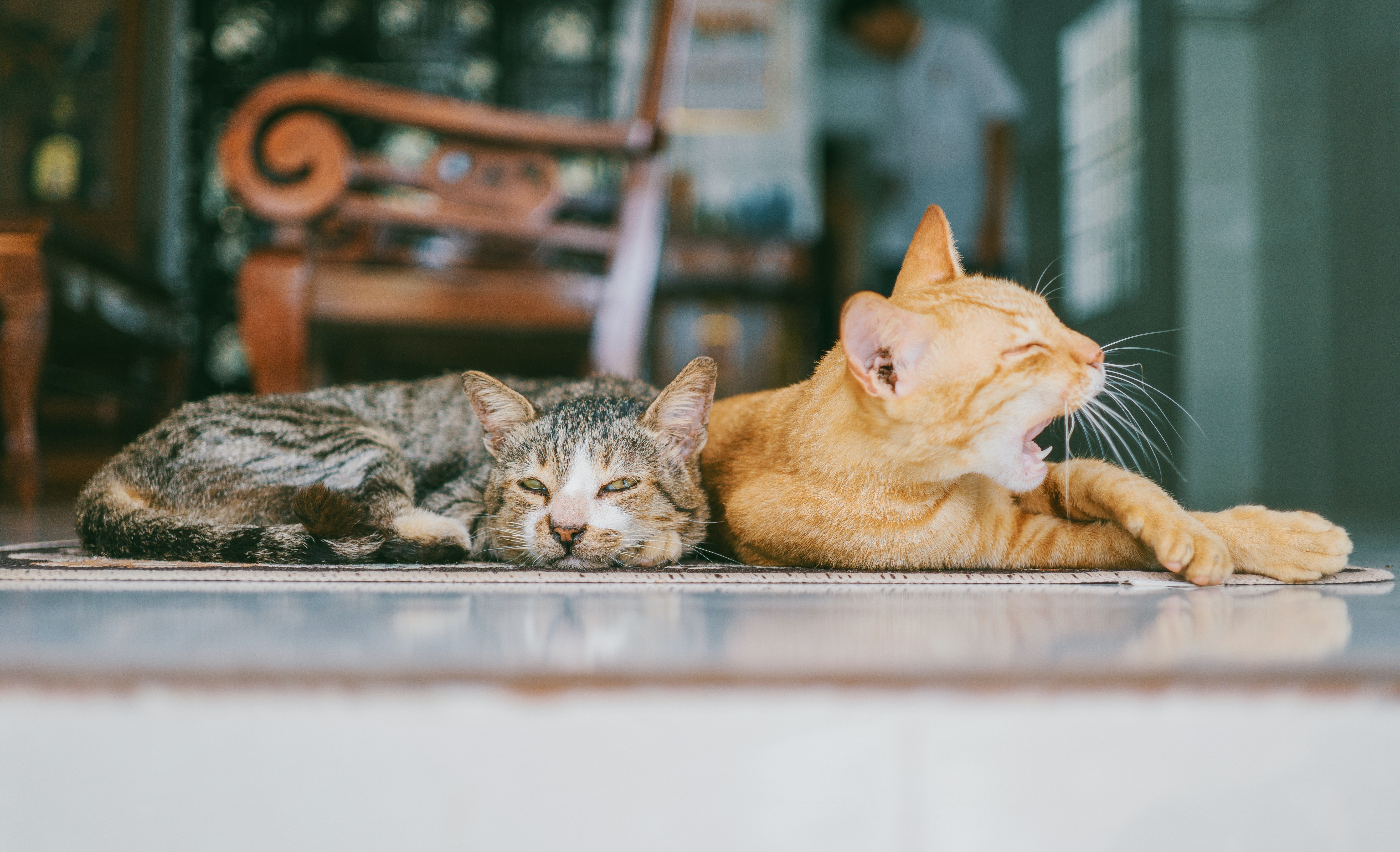Protecting your furniture and carpets with cats