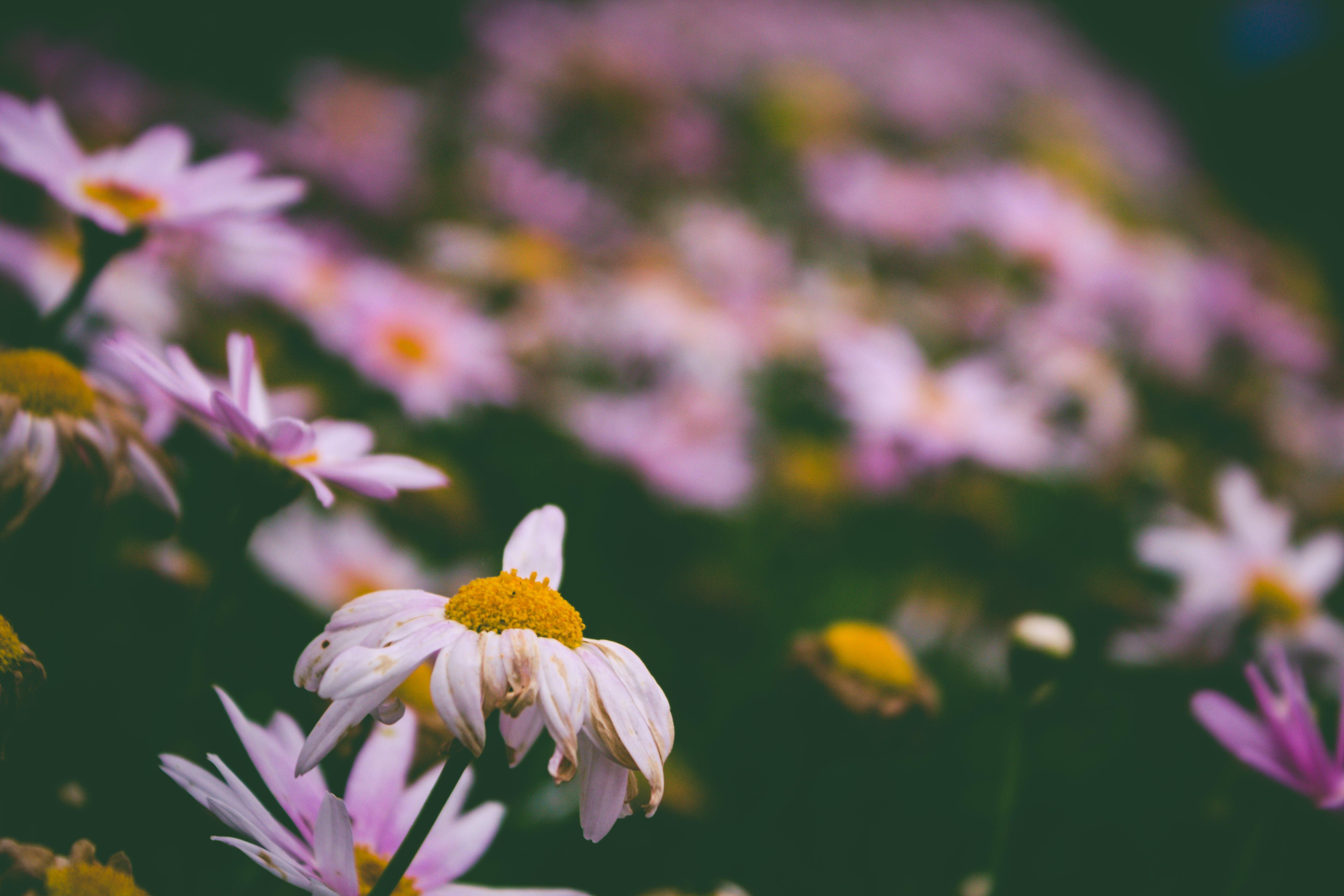 Kostenloses Stock Foto zu natur, blumen, blütenblätter, pflanze