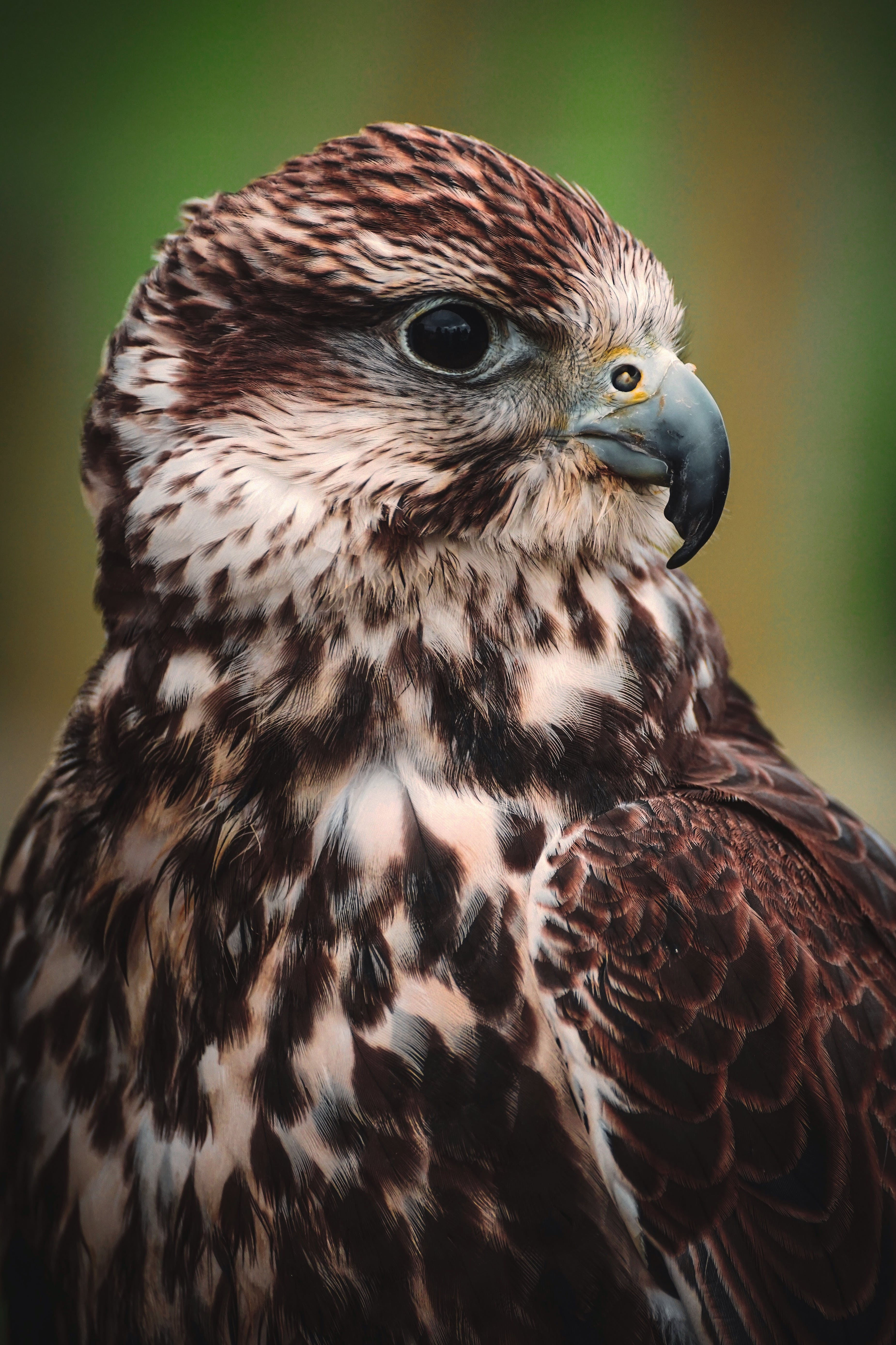 Close-Up Photography Of Falcon