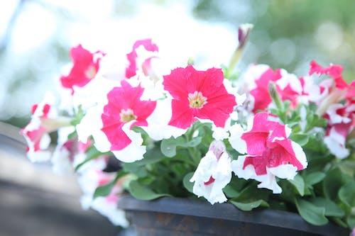 Ảnh lưu trữ miễn phí về cây dã yên thảo, đẹp, hoa hồng