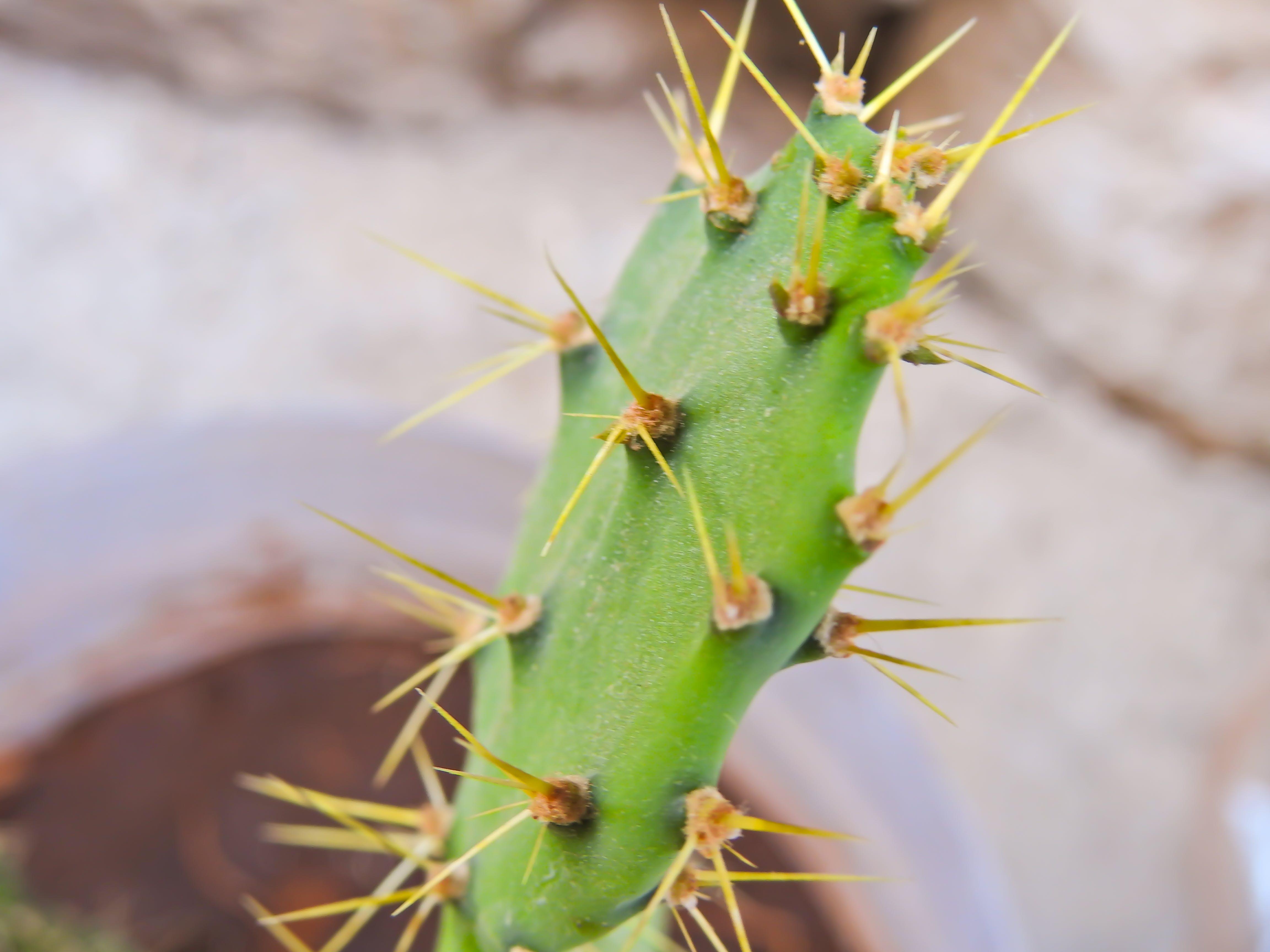 Free stock photo of cactus, green