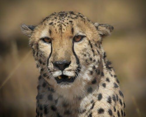 Darmowe zdjęcie z galerii z gepard, kot