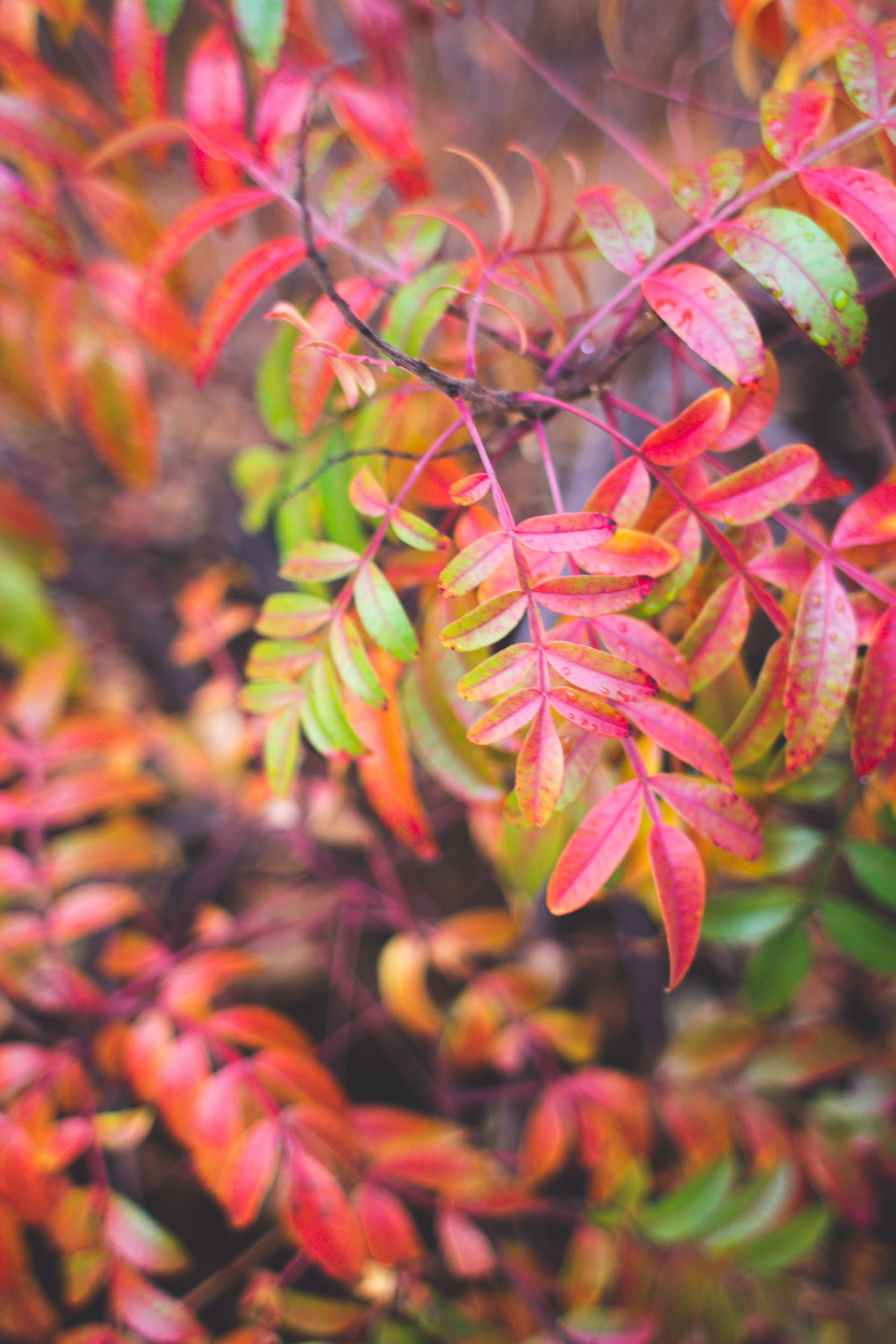 Free stock photo of red, leaves, autumn, fall