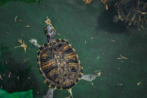 Ảnh lưu trữ miễn phí về màu xanh lá, Nước, rùa