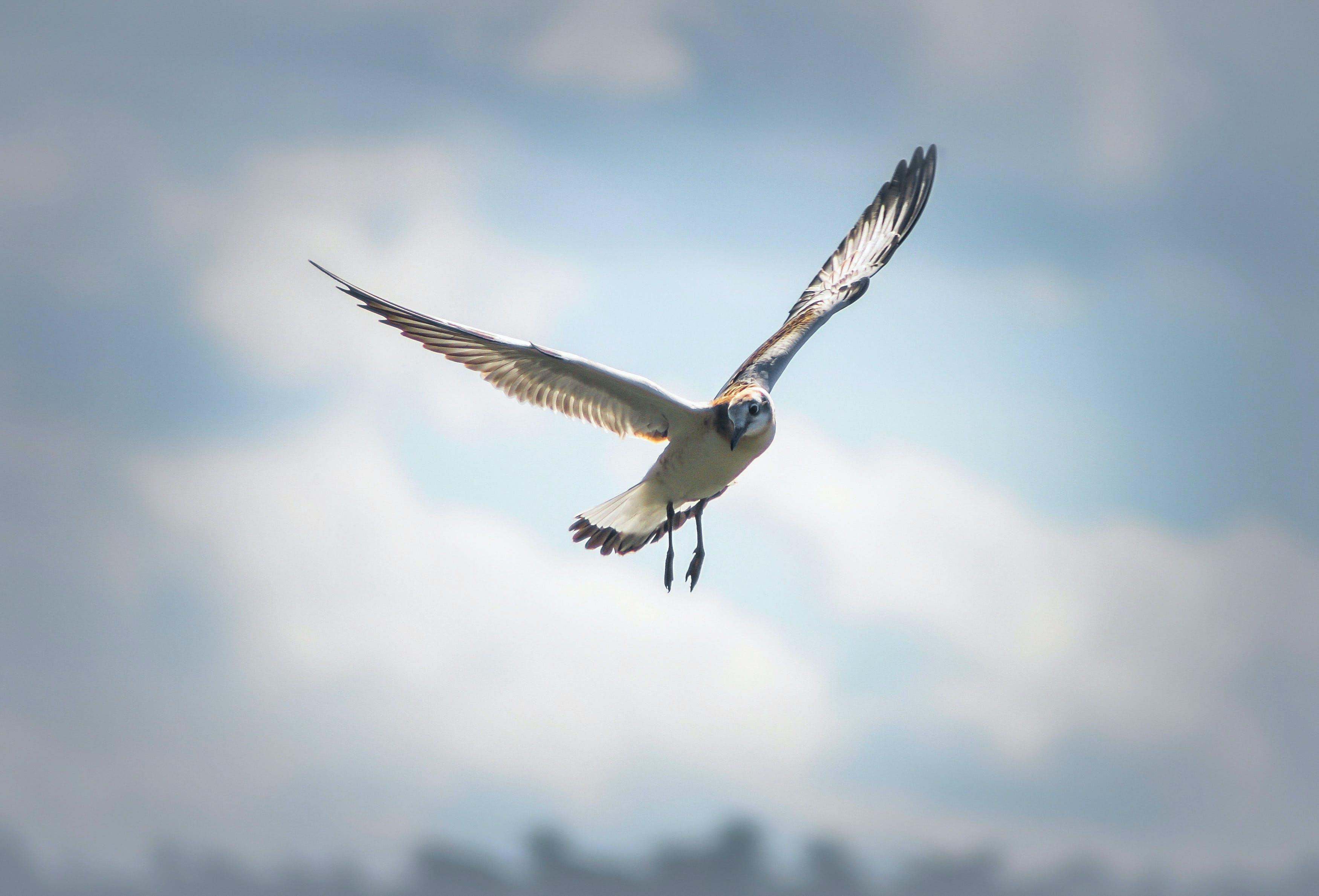 Photo of a Flying Laughing Gull