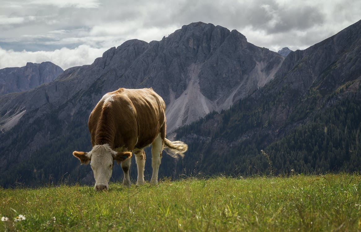 White and Brown Cow Nearby Mountains