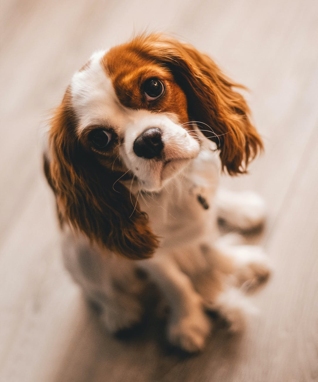 Small Dog Breeds Make Great Companions