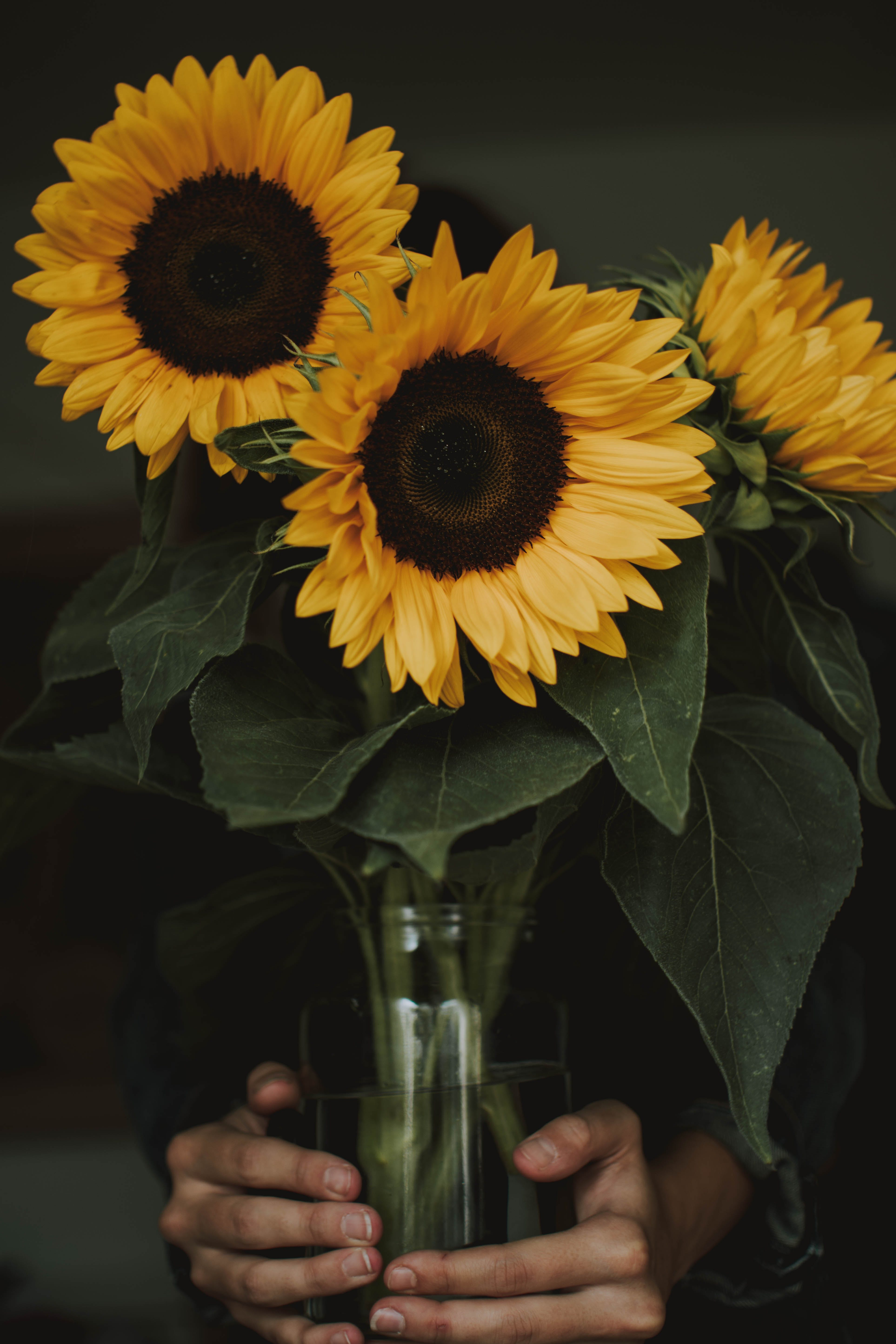 Person Holding Three Common Sunflowers in Vase