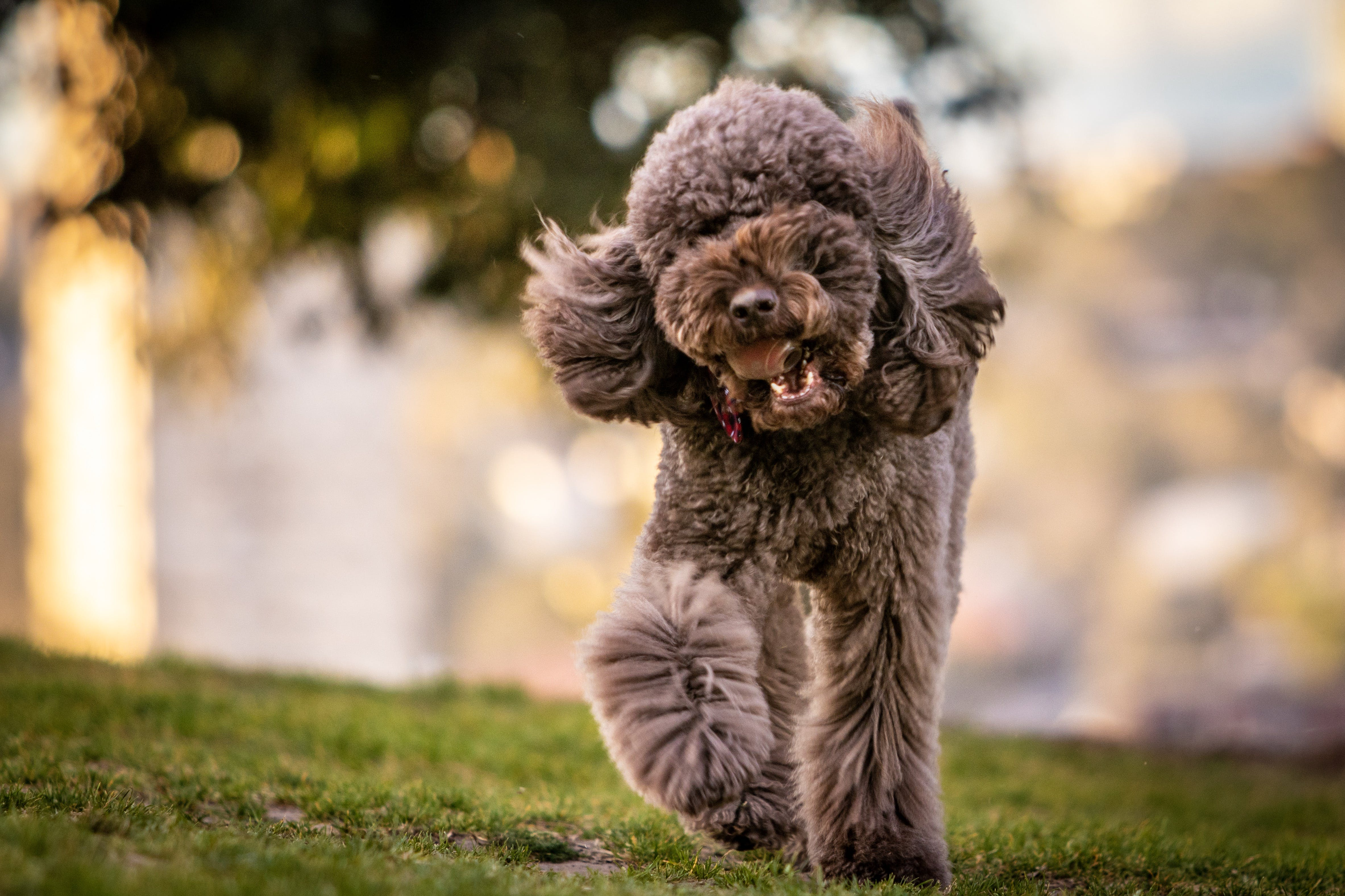 Adult Gray Toy Poodle on Grass Field