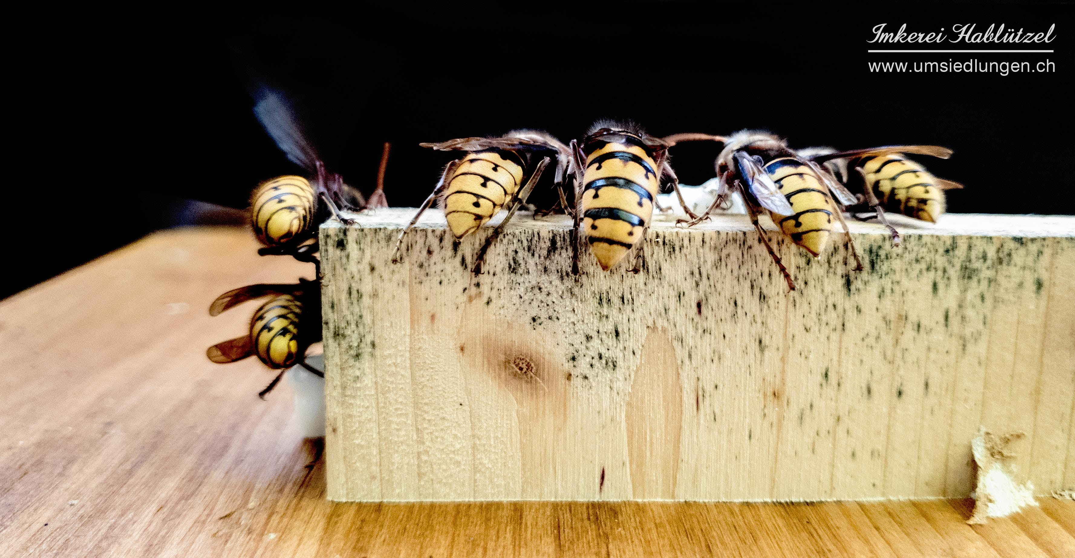 Free stock photo of animal, animal photography, animal portrait, hornet