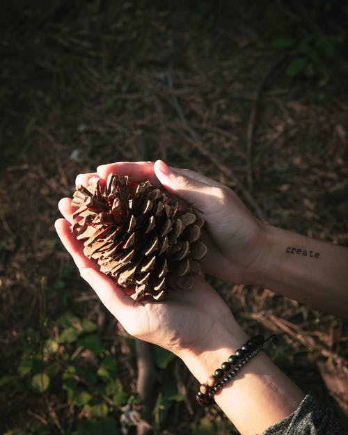 Person Holding Conifer Cone