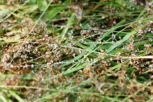 ぬれた草, ハーブ, マクロ撮影, 水滴の無料の写真素材