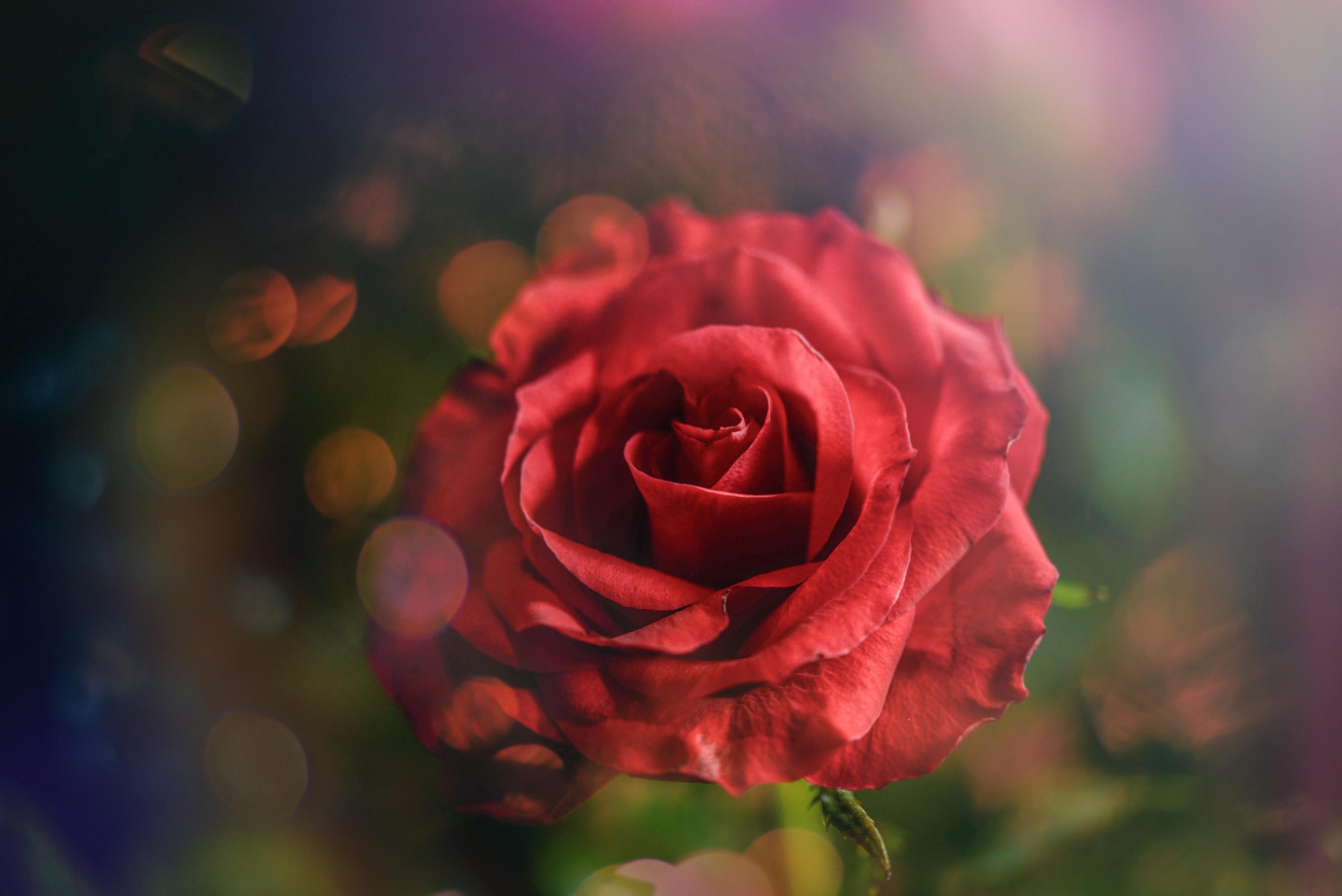 1000 Amazing Red Rose Photos Pexels Free Stock Photos