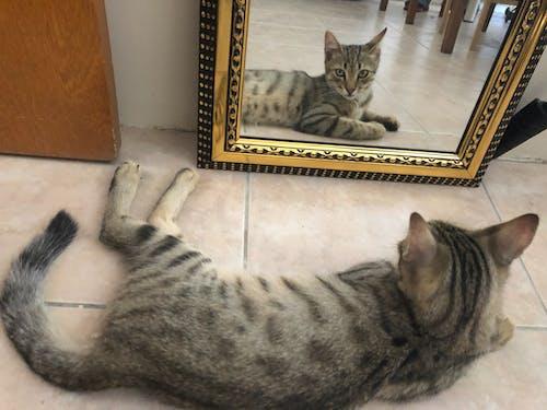 Imagine de stoc gratuită din imagine în oglindă, mâță, oglindă