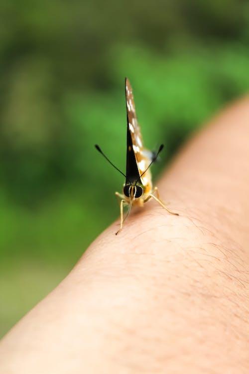 Základová fotografie zdarma na téma butterfly po ruce, detailní záběr, hloubka ostrosti, hmyz