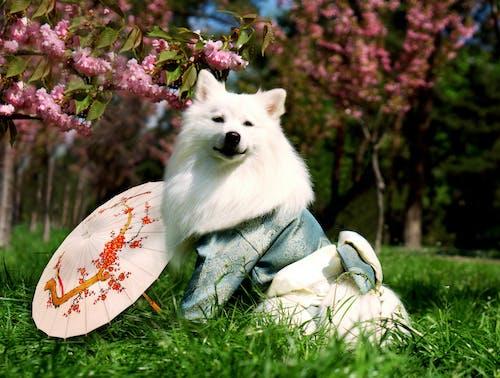 Free stock photo of dog, japan, Japanese, japanese culture