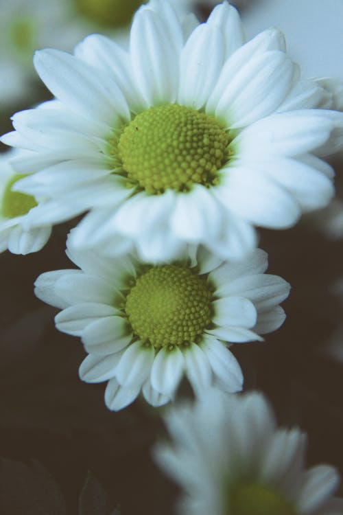 Free stock photo of closeup, daisy, flower, nature