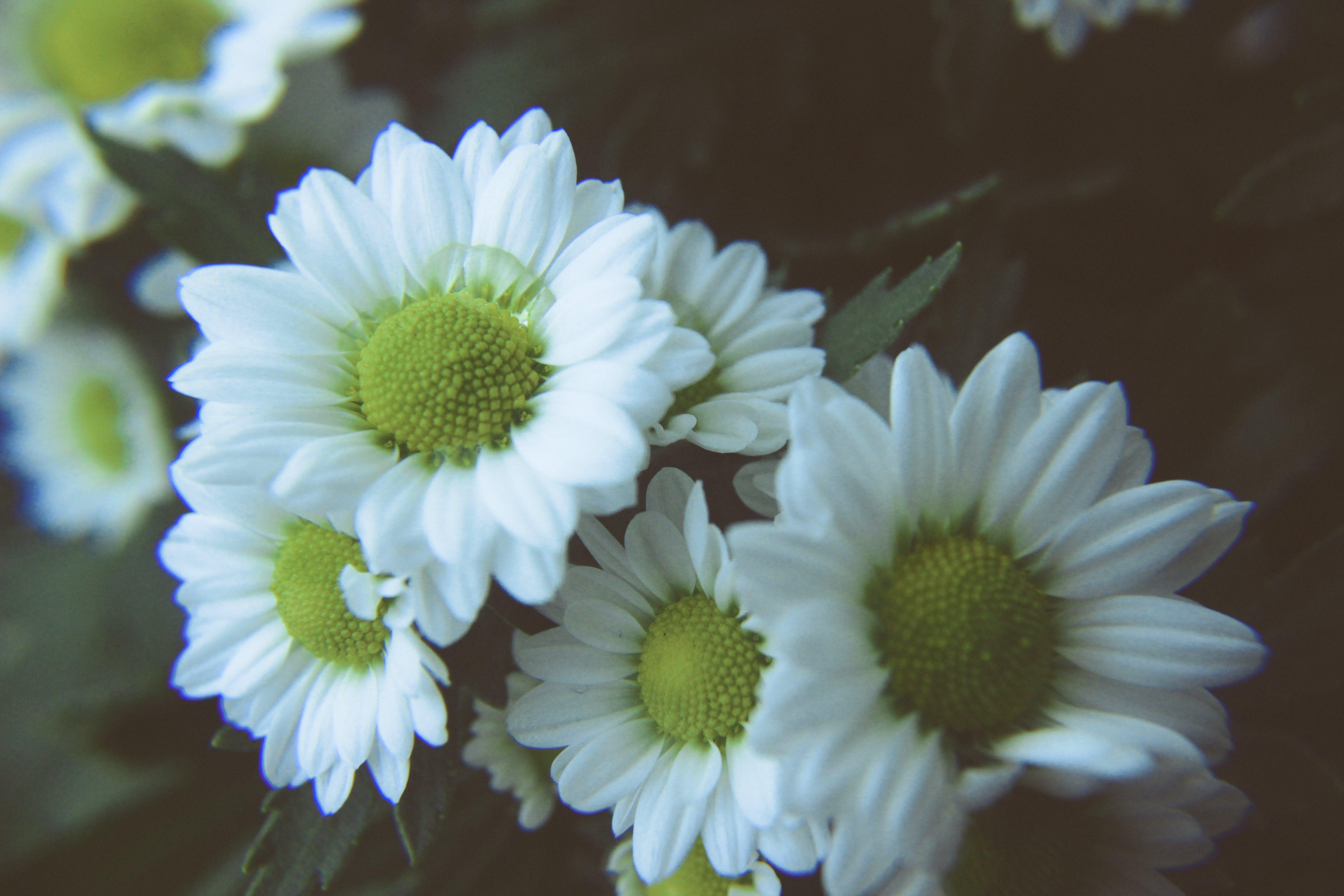 Základová fotografie zdarma na téma bílá, kytka, přírodní, sedmikráska