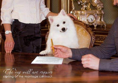Бесплатное стоковое фото с белые собаки, брачный контракт, вопросы о собаках, деловые собаки