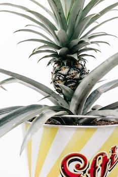 Free stock photo of plant, pineapple, white, fruit