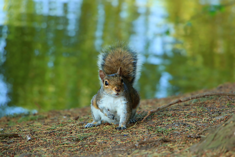 Free stock photo of animal portrait, nature life, squirrel