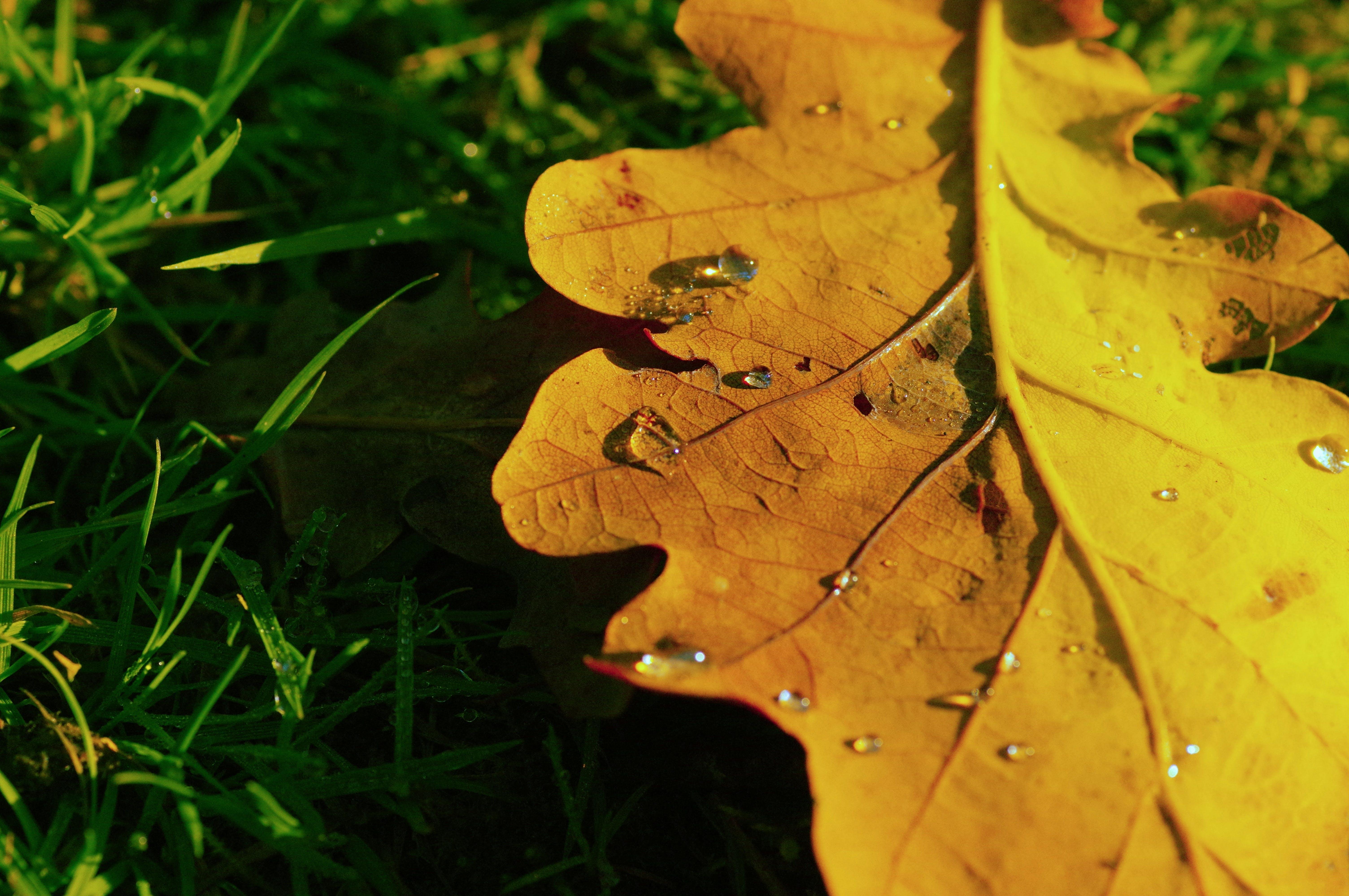 Foto d'estoc gratuïta de gotes d'aigua, herba, roure